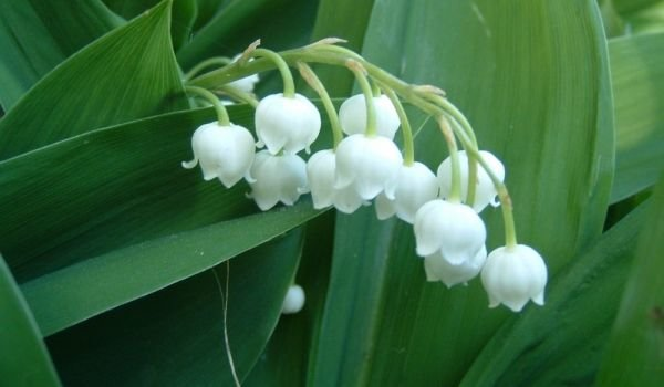 Lily of the Valley colors